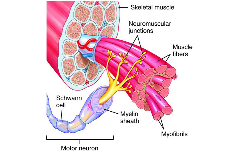 Anatomical_diagram_of_the_motor_unit