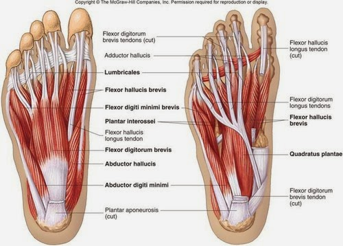 musculatura intrinseca pie